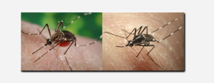 Two types of mosquitoes, the Aedes aegypti and Aedes albopictus, can carry the Chikungunya virus.
