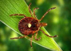 Lone star tick is one of several tick species that can transmit diseases to humans.
