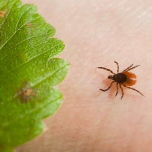 Only 23% of Connecticut residents surveyed know deer ticks can transmit Babesia.