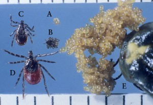Figure A: Larva (A), nymph (B), adult male (C), adult female (D), and engorged female with eggs (E) of Ixodes scapularis.
