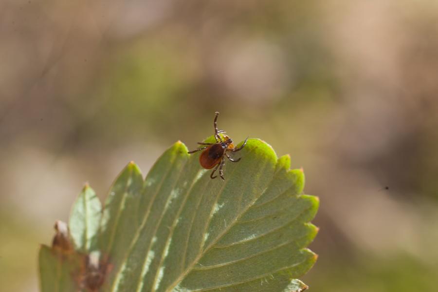 tick-disease-transmission