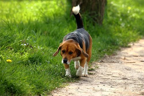 dogs, Lyme disease, vaccines