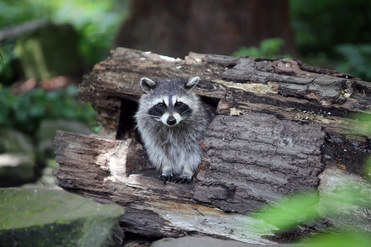 Raccoon in the woods infected with babesia microti