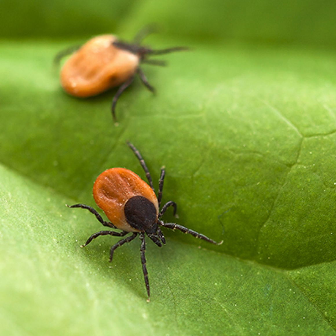 Where are the ticks and what are the diseases they carry?